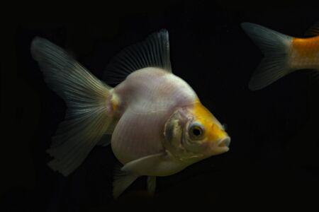 Silver goldfish in the aquarium.