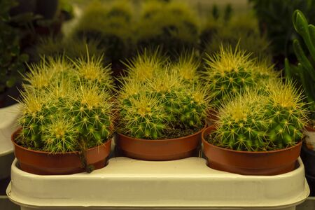 Cacti green in garden store. Front view.