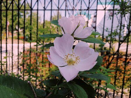 Flowers grow in area near fence in city. June