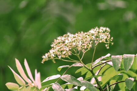 Flowers of common mountain ash on branches. Green radial blur background. Siberia. Summer.