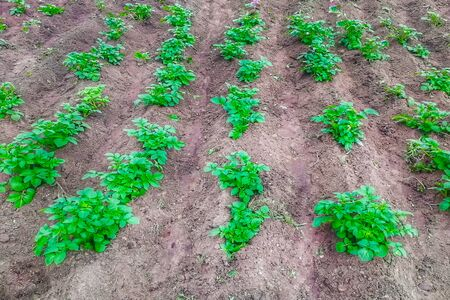 Potato sprouts in the garden. Side view. Stok Fotoğraf