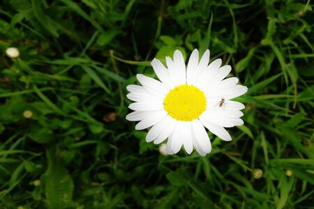 Flower-head of Oxeye daisy or Moon daisy Leucanthemum vulgare perennial plant isolated against green background