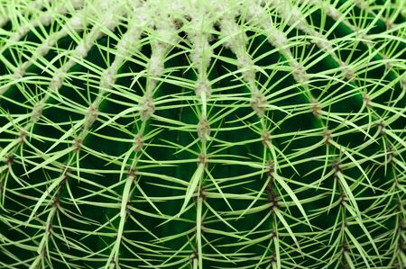 Close-up of a green cactus pad with a row of spikes Macrophoto. Stok Fotoğraf