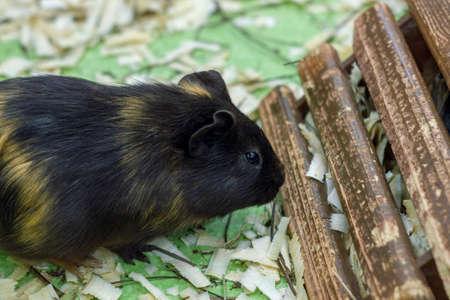 Cute Guinea pig, a popular household pet 免版税图像