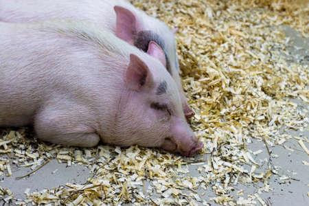Closeup of sleeping pig facing the camera. Horizontal shot. Reklamní fotografie