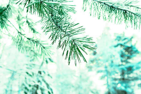 A branches of pine in the forest in winter.