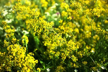 Bright yellow flowers of Galium Verum (Ladys Bedstraw or Yellow Bedstraw). Floral background