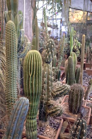 Cactuses in MSU botanical garden, Moscow, Russia. Cactus collection