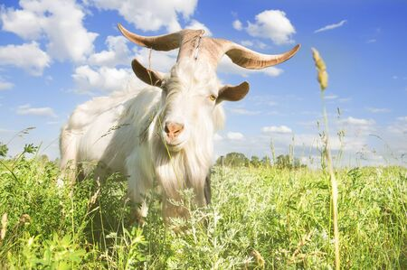 White goat with big horns grazing on a summer meadow close-up