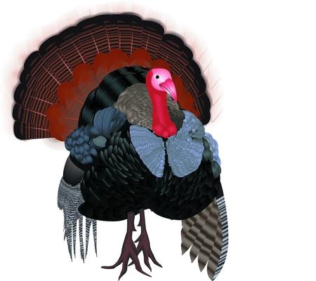 strut: Isolated cartoon turkey (vector)