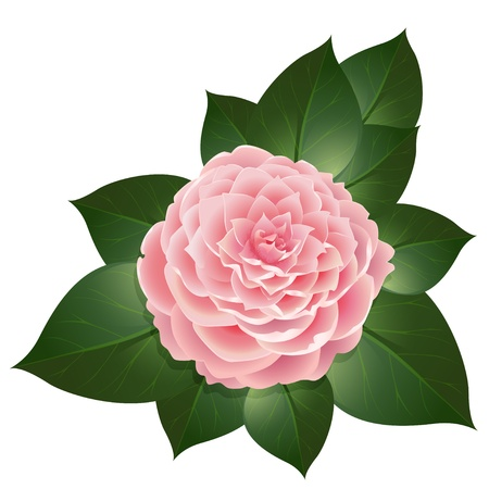 camellia: realistic camellia flower Illustration