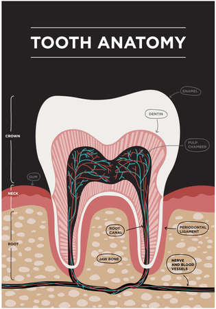 Tooth anatomy vector dental infographics. Medical banner or poster illustration with tooth structure