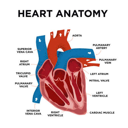 Heart Anatomy diagram. Human Heart Structure. Labeled heart half in doodle style. Part of heart foe education. Hand drew vector illustration. Vector Illustration