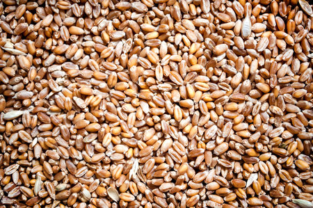 wheat kernel: Detailed and colorful background with wheat grain