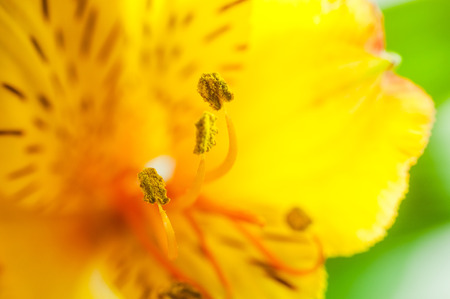 yellow stamens: Alstroemeria flower with yellow stamens close up on background