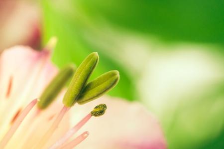alstromeria: Alstroemeria flower with purple stamens close up on background Stock Photo