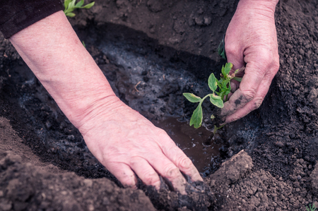 transplanted: Womens hands transplanted seedlings in the garden Stock Photo