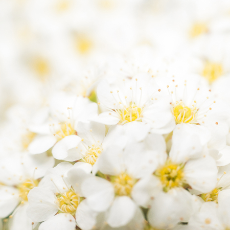 Background with a large group of wild jasmine. Stock Photo
