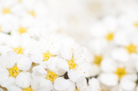 coronarius: Background with a large group of wild jasmine. Stock Photo