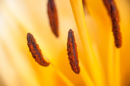 the stamens: Stamens yellow Lily closeup .