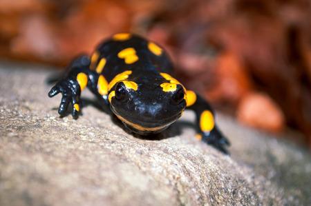 salamandra: Salamandra de fuego en la piedra en la naturaleza de cerca. Foto de archivo