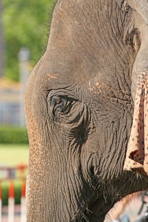 forgetfulness: Close up of an elephants head Stock Photo
