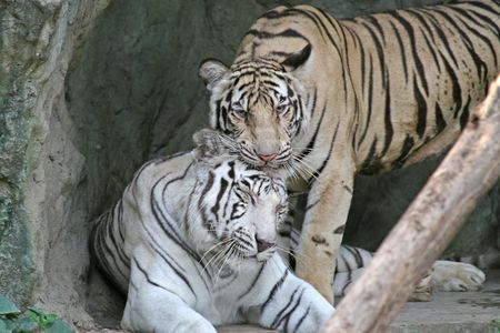 white tigers: Two Bengal Tigers playing. The endangered animal is primarily found in Bangladesh and India
