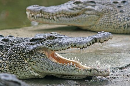 A crocodile waits with its jaws wide open photo