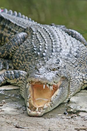A large crocodile waits in the sun with its mouth open