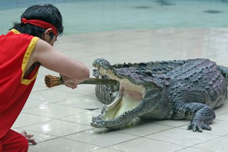 teases: A zoo keeper in Thailand teases a crocodile with a stick Stock Photo