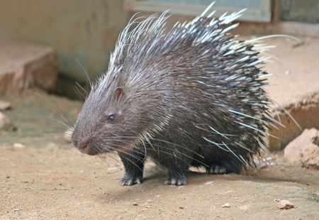 spines: A Malayan Porcupine with its needle sharp spines Stock Photo