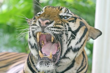 Close up of a tiger, showing his large teeth Stock Photo