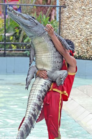A trainer wrestles with a crocodile during a show in a zoo in Thailand Stock Photo - 2114931