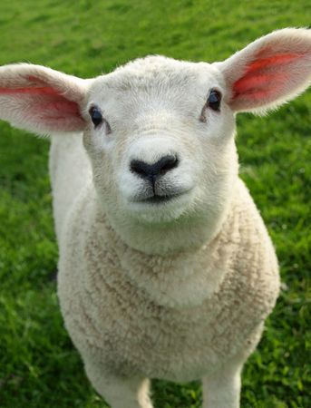 Spring Lamb Stock Photo - 4922898