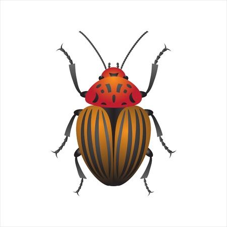 colorado: Isolated colorado beetle, vector illustration Illustration