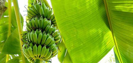 the banana plant with banana nature