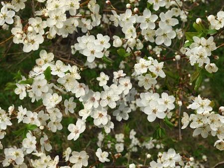 seamless flowering plum tree bloom background texture photo