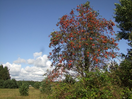ashberry: landscape with rowan tree with red ashberry