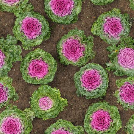decorative cauliflower in the ground seamless Zdjęcie Seryjne