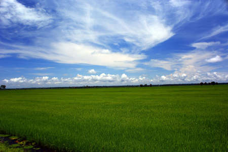 Paddy fields at Sekinchan, Malaysia photo