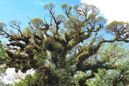 epiphyte: Big tree with lots of epiphyte plants