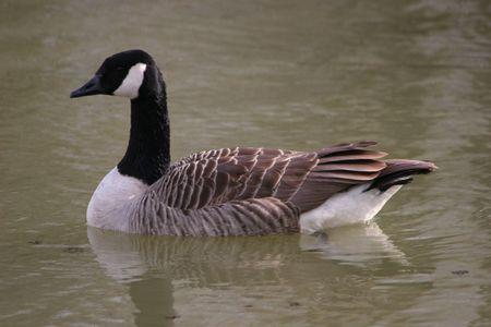 cosily: A Goose