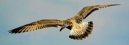 Sea Gull Zdjęcie Seryjne