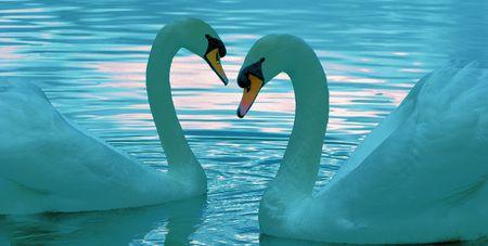 Swan's Aflot Banque d'images