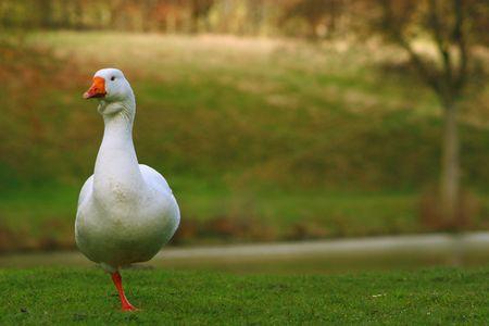 Goose Stock Photo - 757271