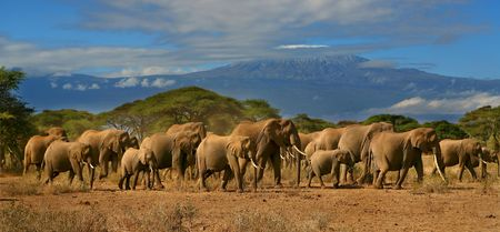 Kilimanjaro Elephant Herd  photo