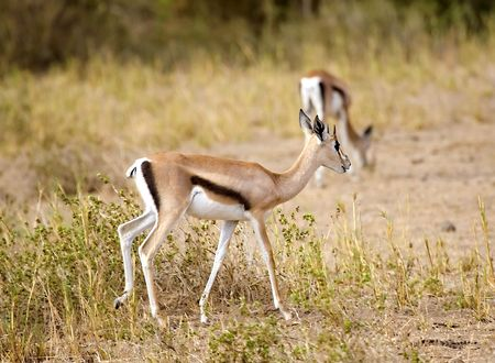 maasai mara: Gazelle