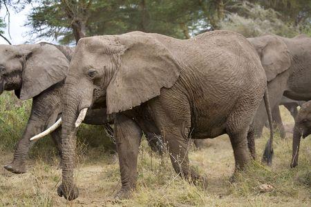 maasai mara: Large Elephant