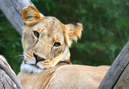 africat: Lioness In A Tree