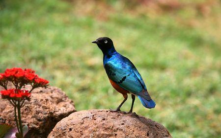 plummage: �frica Blue Bird